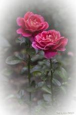 Розовые сестрички