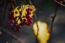 Осенняя рапсодия. Лимонник.